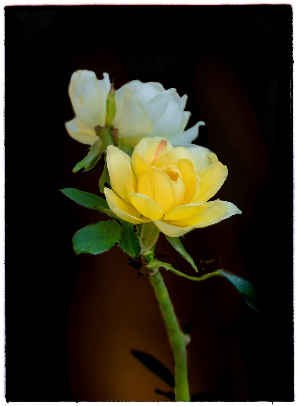 Yellow over White
