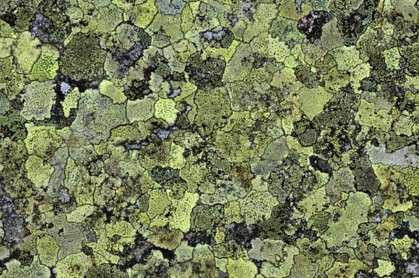 Map Lichen by Dodge