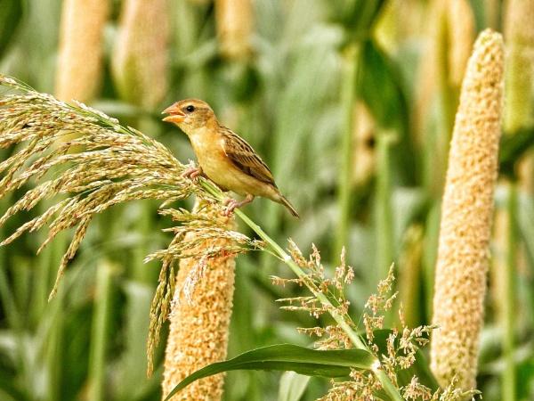 Munia birds by gautamc