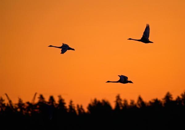 Whooper swans in Matalajärvi by hannukon