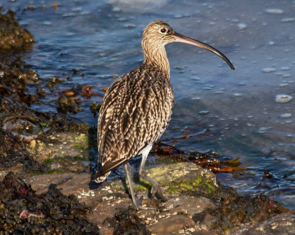 Curlew by dven