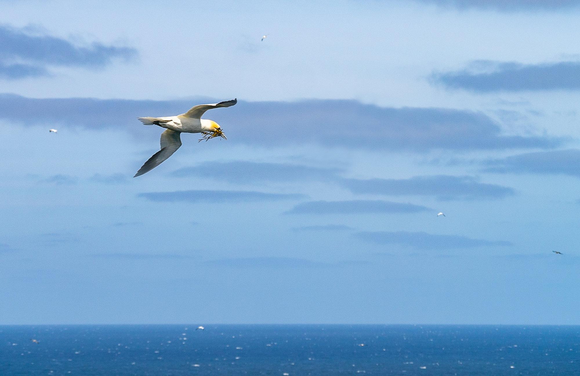 Gannet nesting