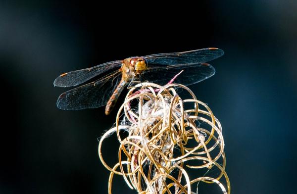 dragonfly by madbob
