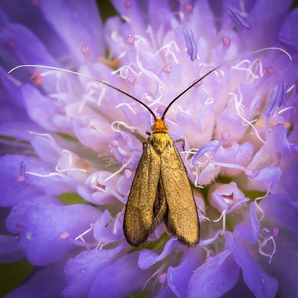 Brassy Longhorn Moth by barrywebb