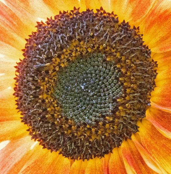 Sunflower by oldgreyheron