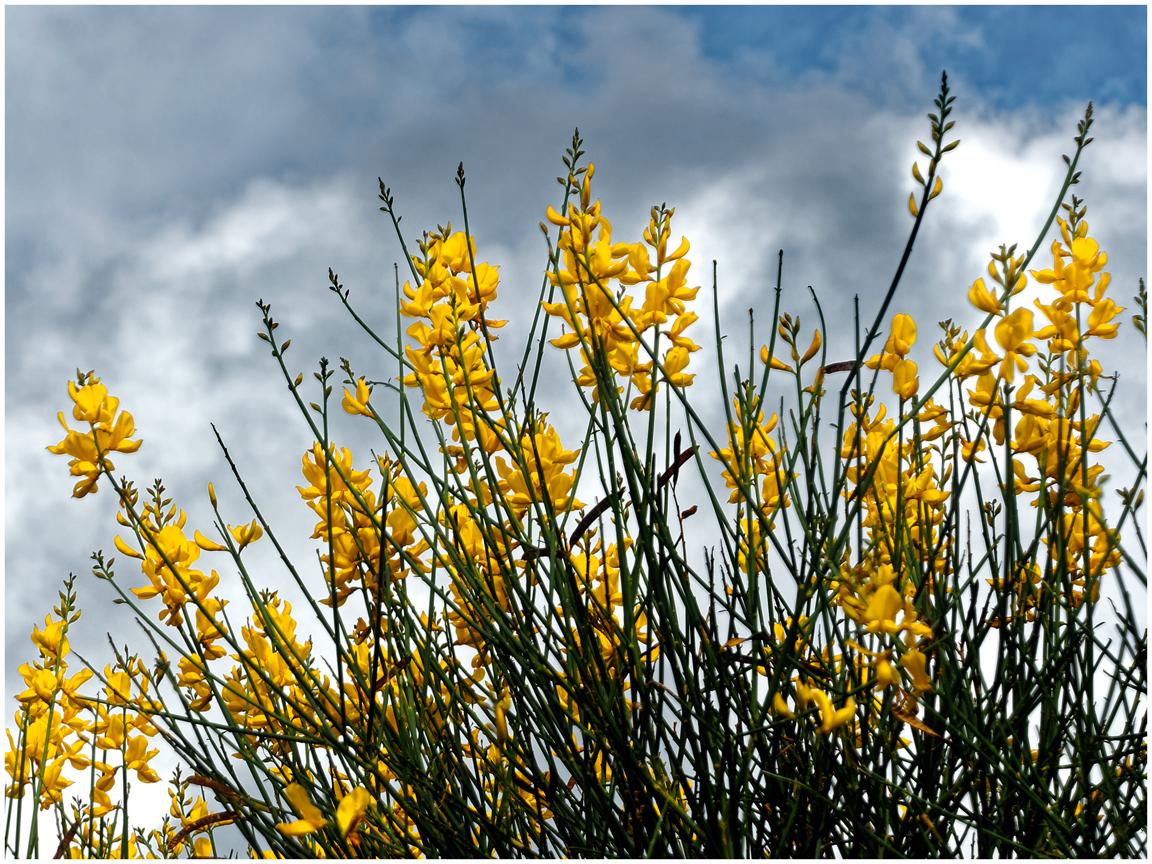 """ Common Broom "" Cytisus Scoparius"
