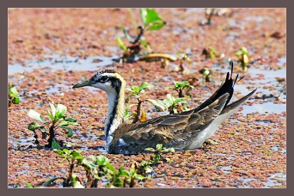 Jacanas & Lesser Whistling Ducks by prabhusinha