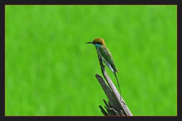 Green Bee Eater by prabhusinha