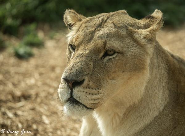 Lioness by Craig75