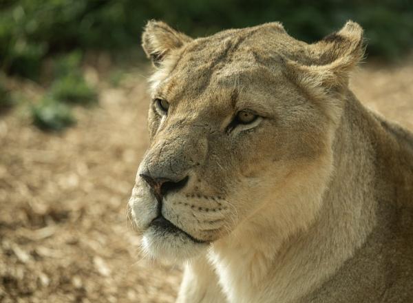 Lion by Craig75
