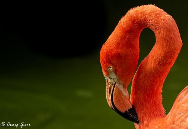 Flamingo by Craig75