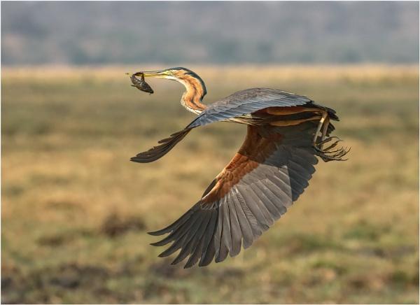 Purple Heron by mjparmy