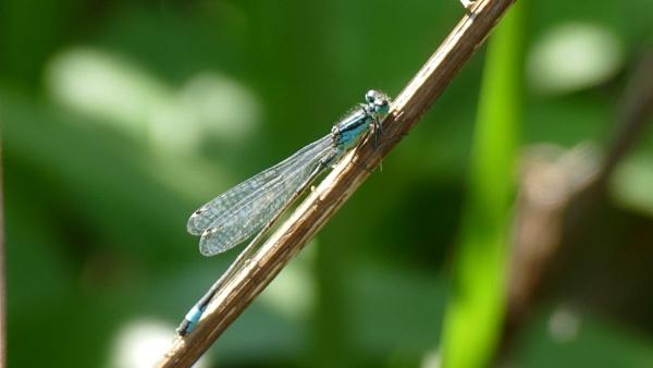 Dragonfly by blackgreyhound