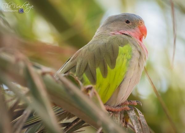 Princess of Wales Parakeet by MartinWait