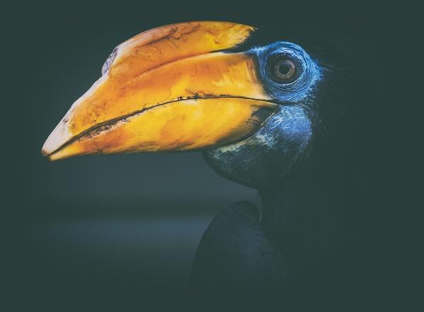 Wrinkled Hornbill by MartinWait