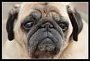 Frank the Pug by Toobi_Won