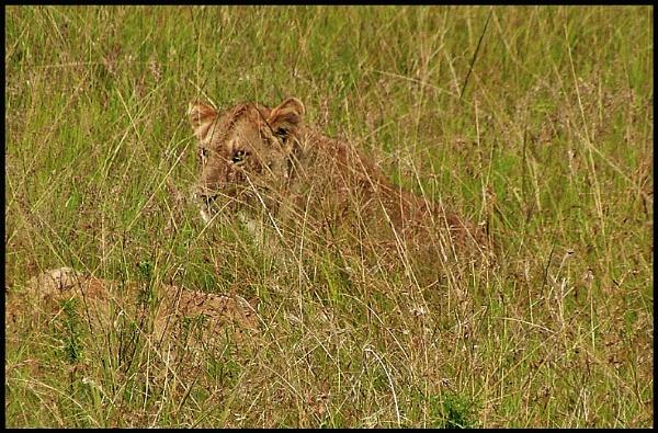Lion cub keeping safe by JuBarney