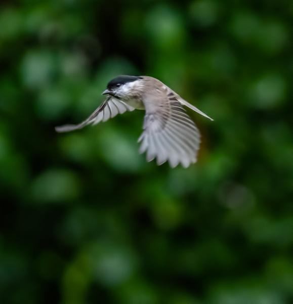 Marsh Tit Flight by brianfrance1