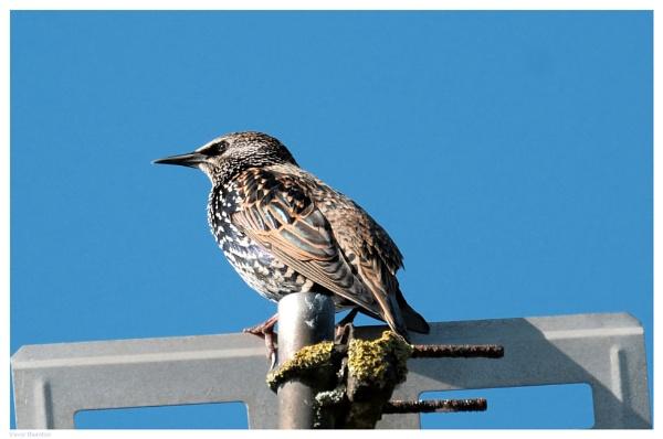 Starling by TT999