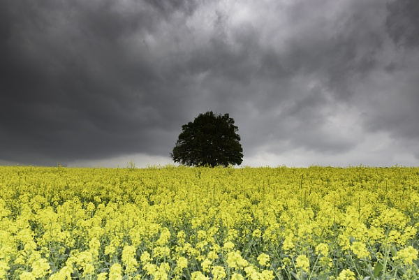 Rapeseed field by trusth
