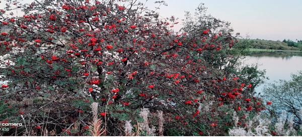 Berry Tree by carol01