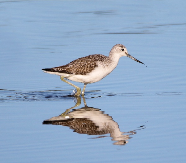 Greenshank reflection by Steveo28