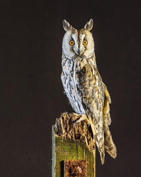Long Eared Owl by Alan1297