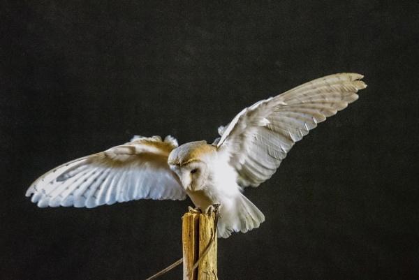 The landing - Barn Owl by Alan1297
