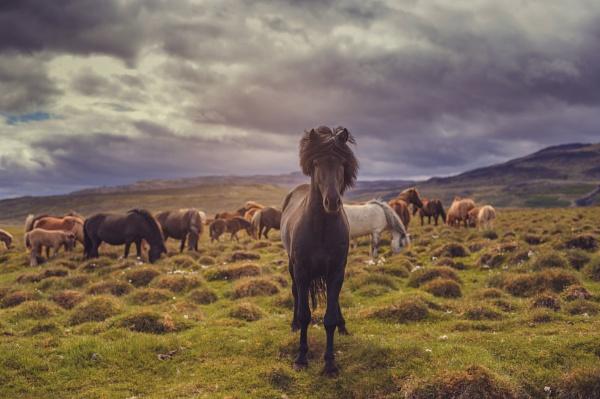 Icelandic horse by Uher