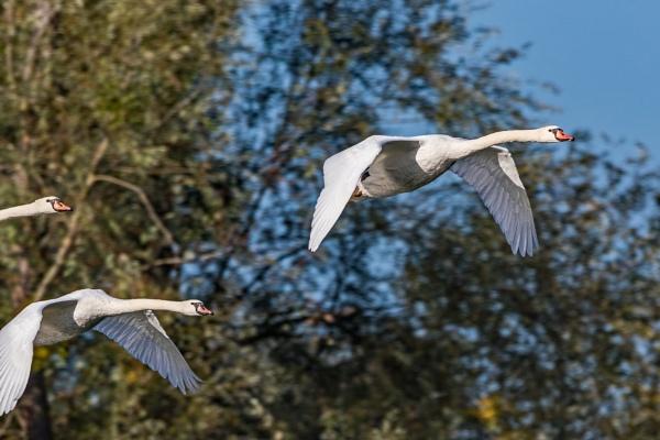 Swans by aldasack1957