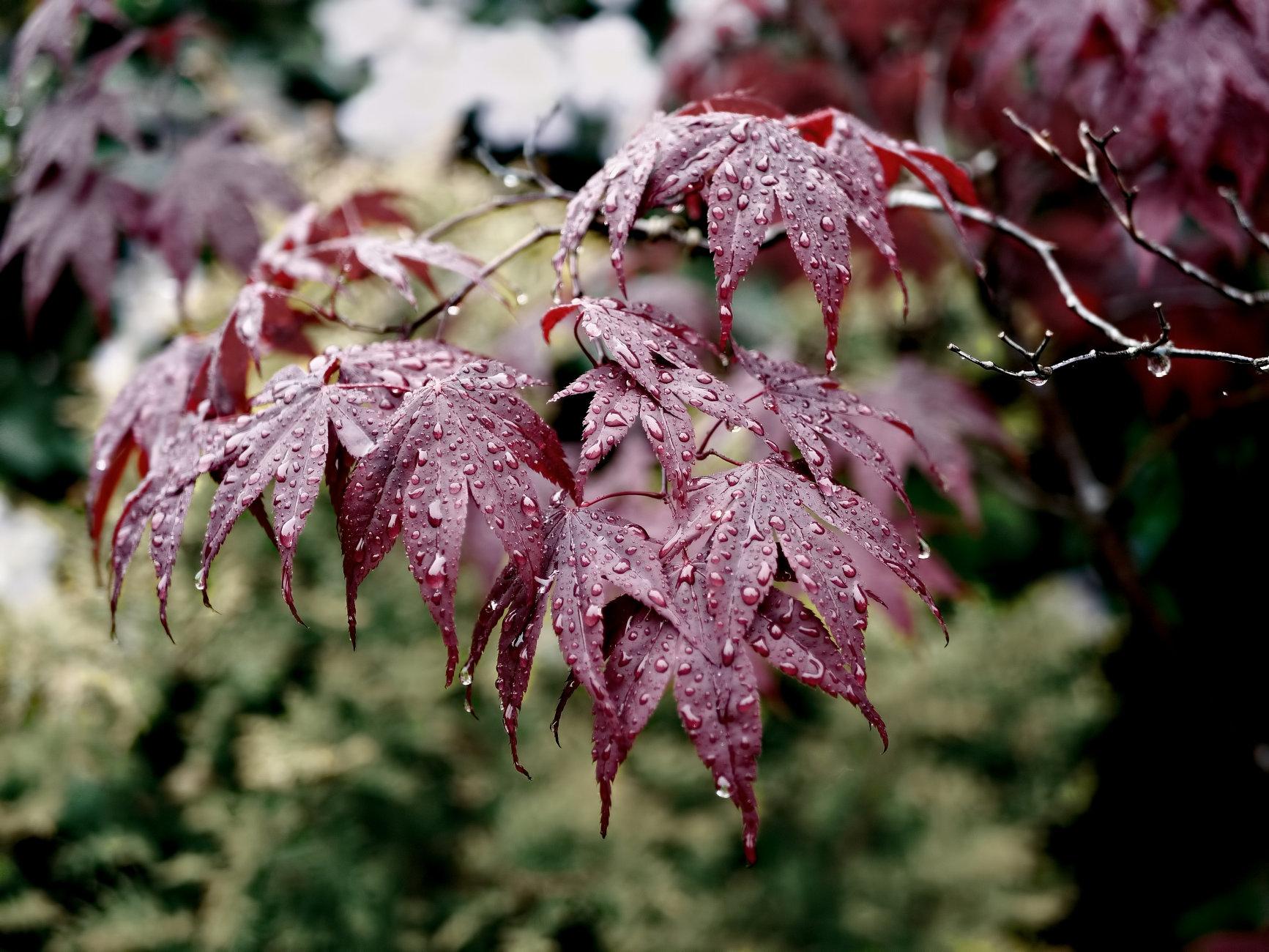 Ace Autumn Acer