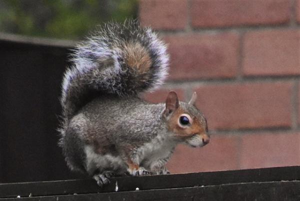 Grey Squirrel 2 by geoffgt