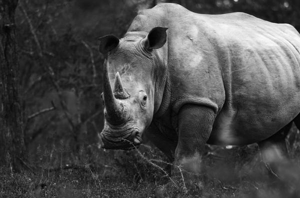White Rhino by Wendicles