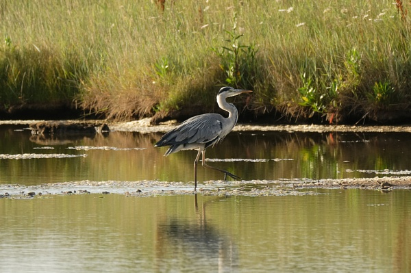 Heron on Mill pond Yarmouth. by simmo73