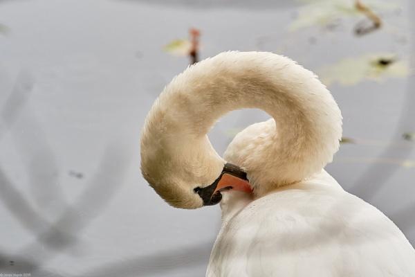 Swan by LotaLota