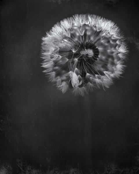 Dewy Dandelion by swilliams71
