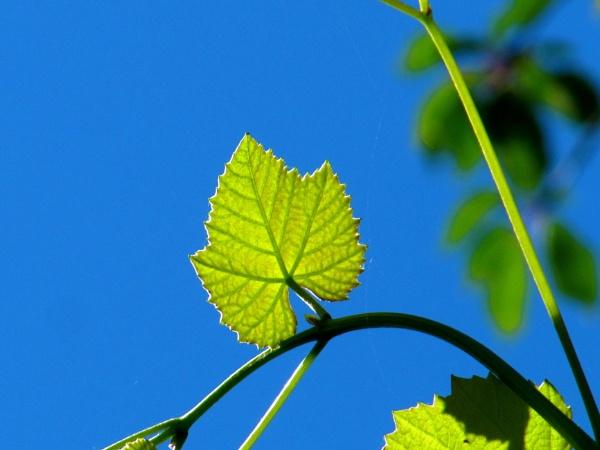 Grape leaves by riobom
