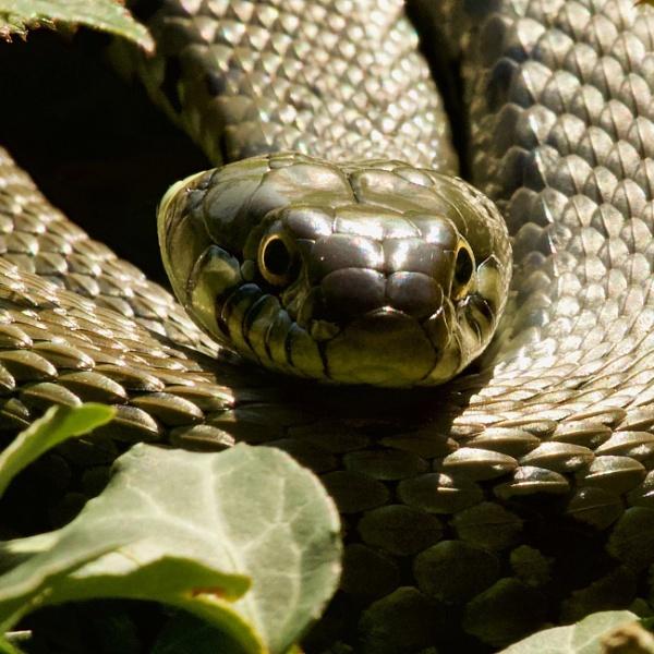Grass Snake by martin174
