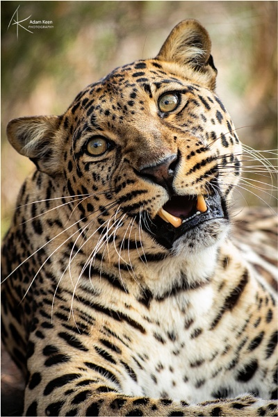 ZweLakhe the Leopard by sherlob