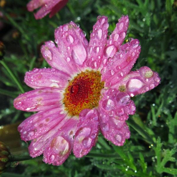 Wet argyranthemum by oldgreyheron