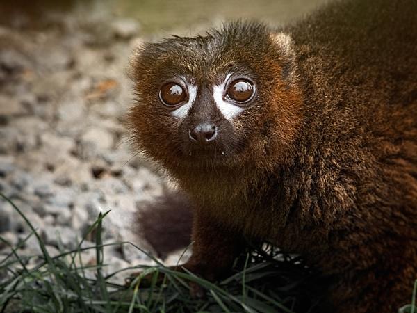Lemur by Syren