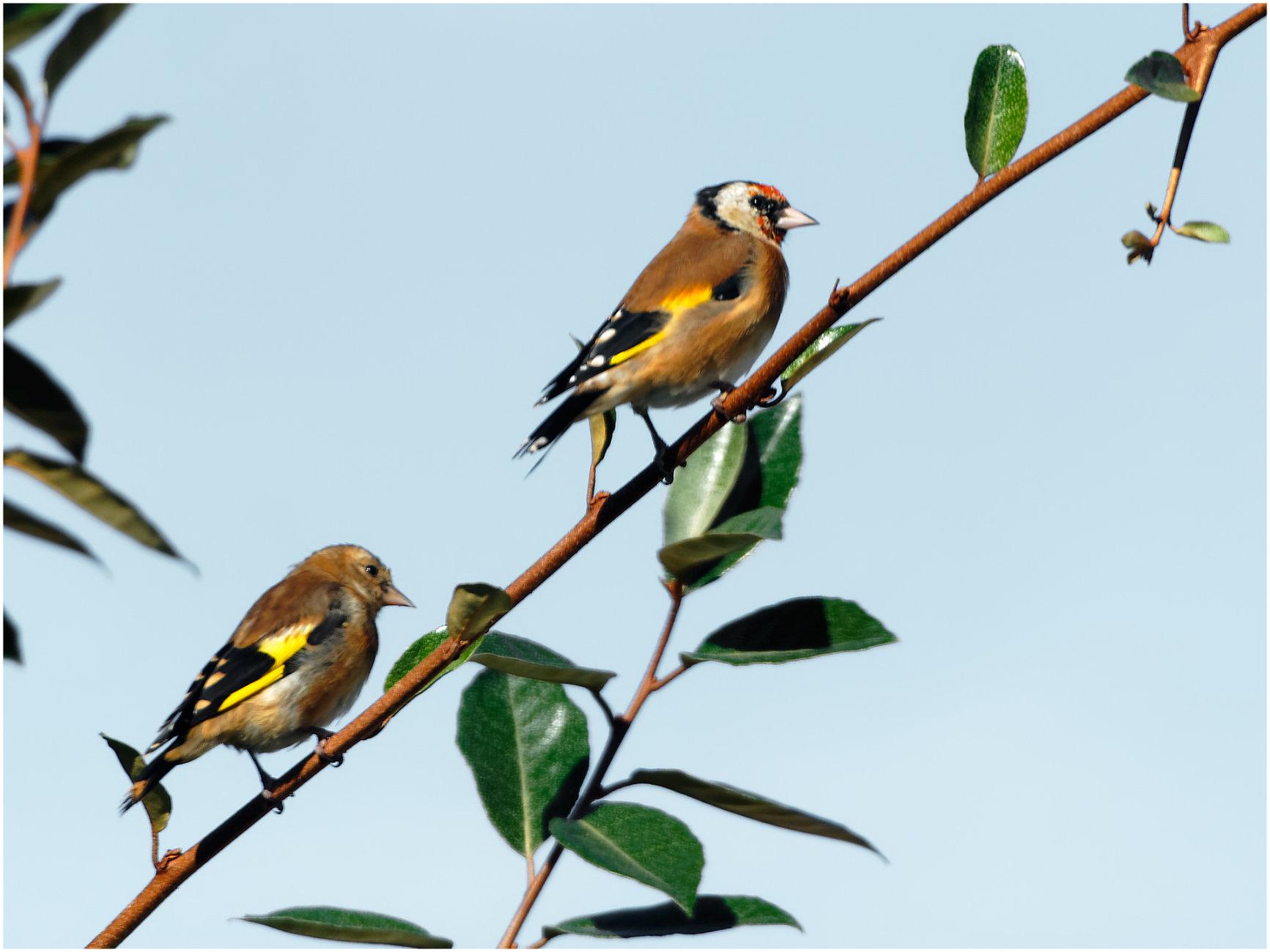 """ Goldfinch Pair """