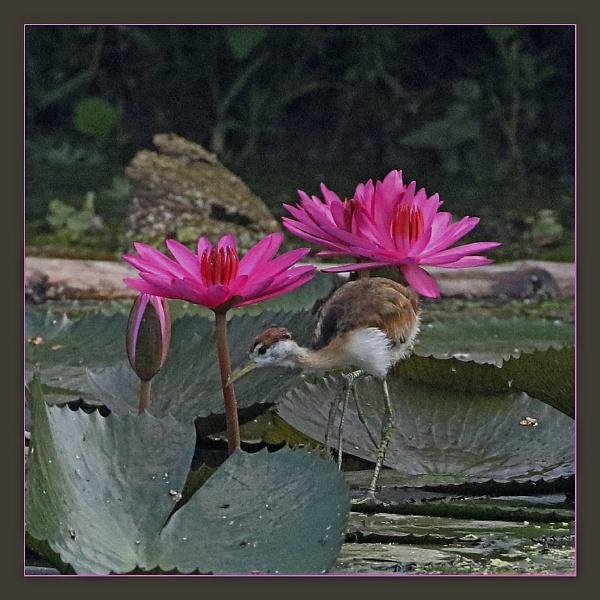 Water Hen 2 by prabhusinha