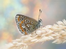 Common Blue by SWMahy