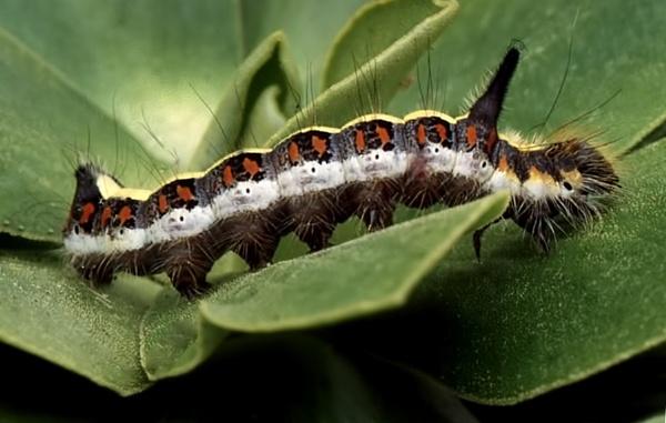 Grey Dagger Moth larva by TonyDy