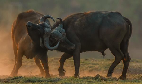 Buffalo showdown by esoxlucius