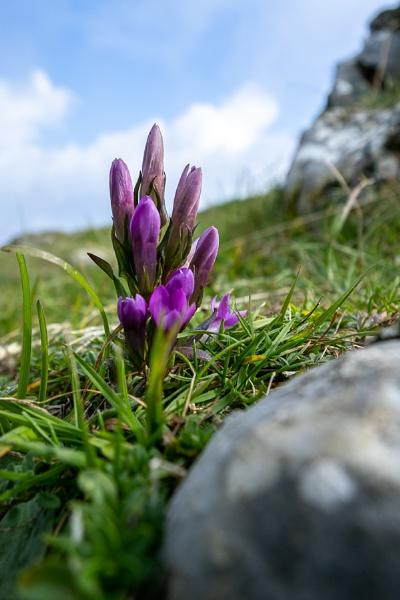 German Gentian (Gentianella germanica) flower growing on Monte P by Phil_Bird