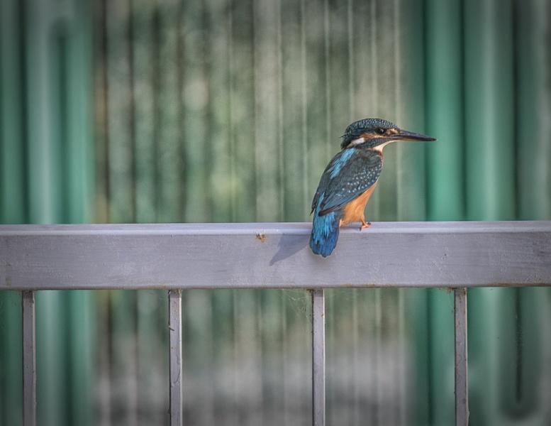 Urban Kingfisher