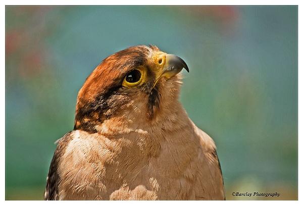 Pereguine Falcon by fatfranksfolley