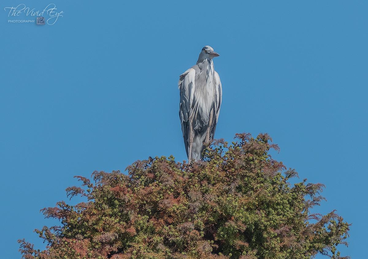 Heron on a Tree